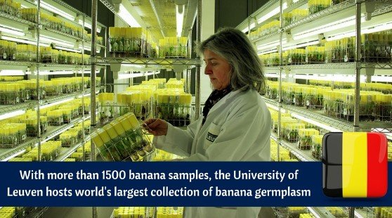 Belgie thuisbasis van 30 jaar bananendiversiteit - bananen
