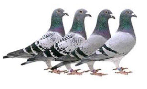 Paramyxovirose bij een duivenhouder te Roosdaal - duif