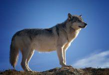 wolf pixabay