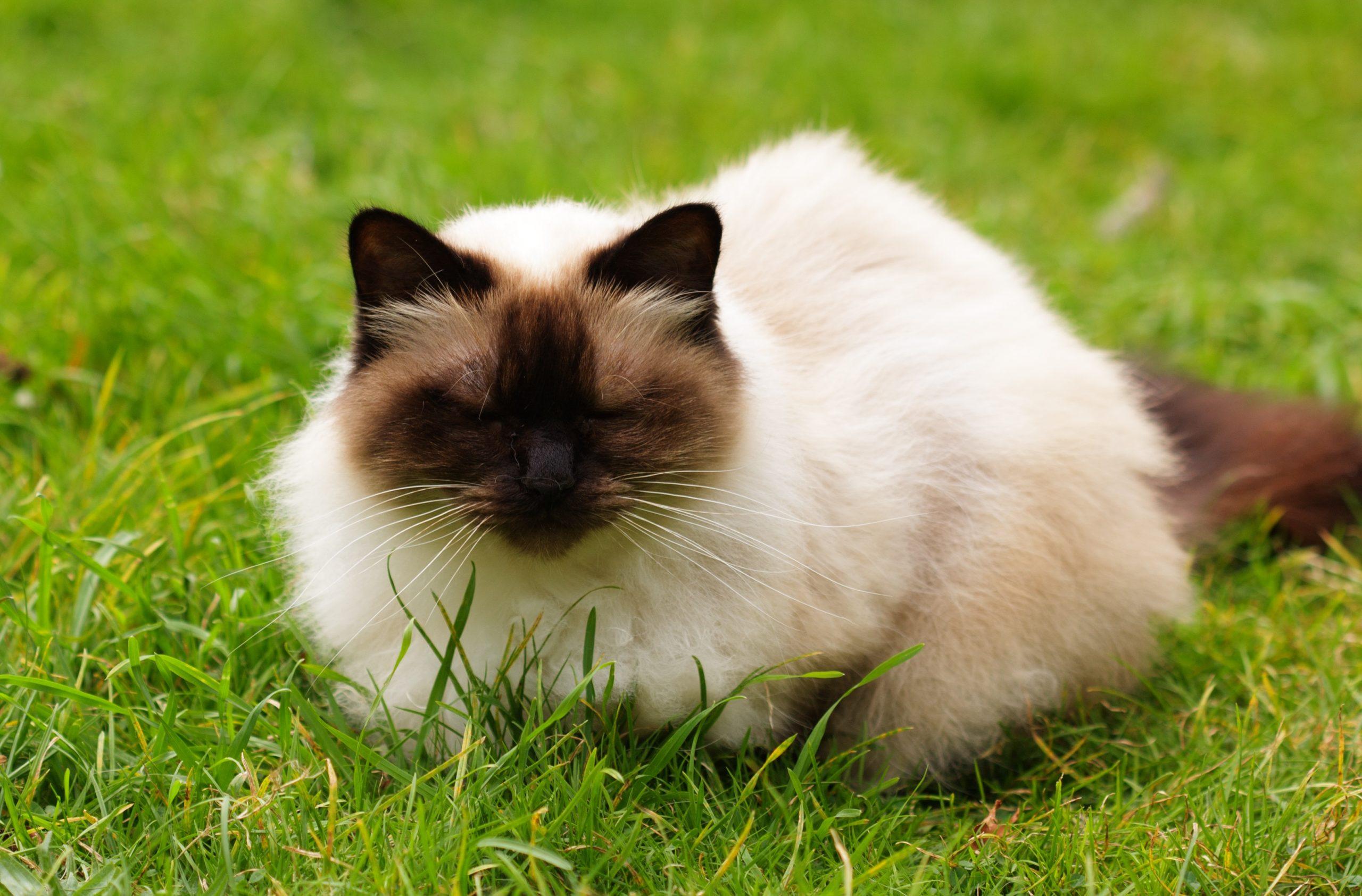 Meest populaire katten
