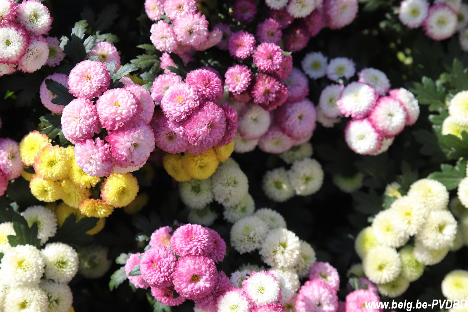 Kasteeldomein Groot-Bijgaarden opnieuw decor voor bloemenpracht - IMG 0779