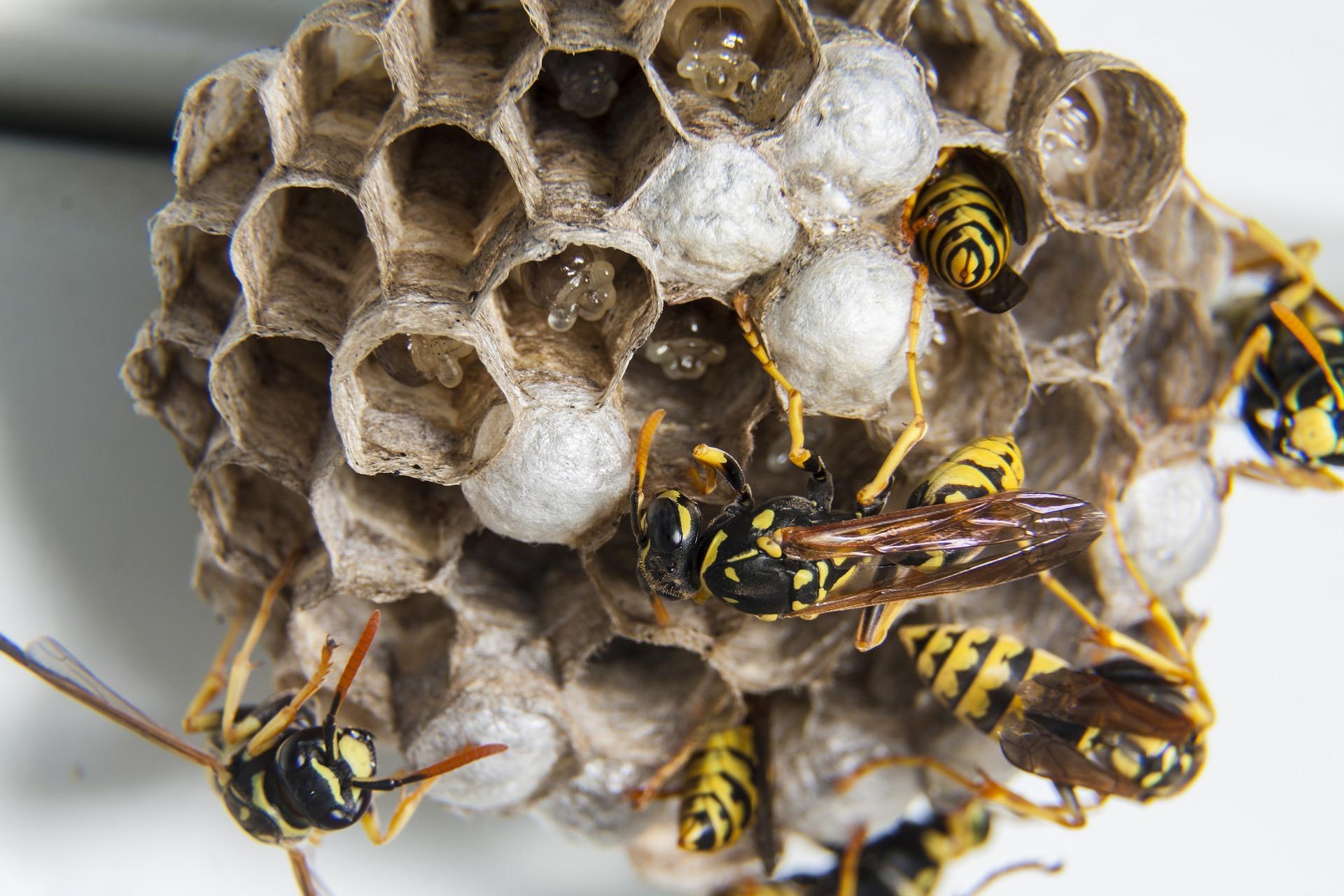 Wat kan ik doen tegen een beginnend wespennest